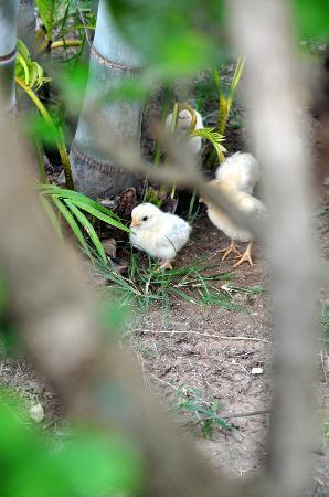 Xanadu  2008: Little chick, just one week old and hustling around!