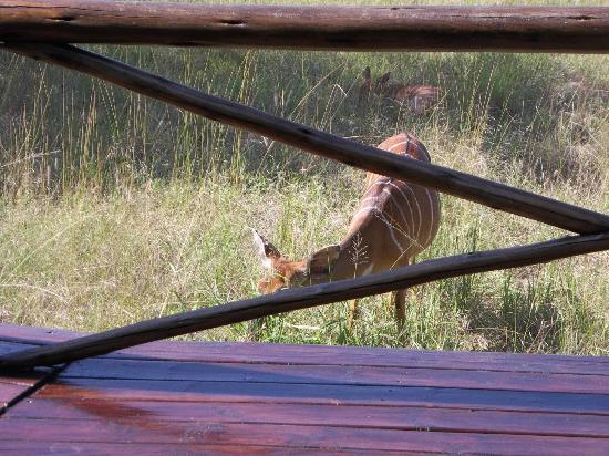 Makhasa Game Reserve and Lodge: Anyala withing 3 feet of the lounge deck.