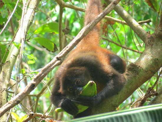 Surcos Tours: Monkey
