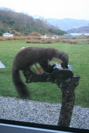 Glenborrodale, UK: (Ricky) The Pine Martin