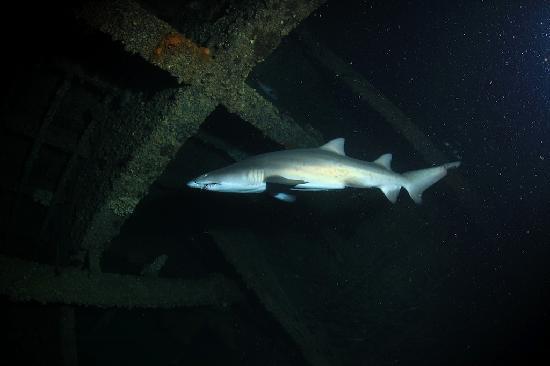 Olympus Dive Center : Sandtiger shark inside the Papoose
