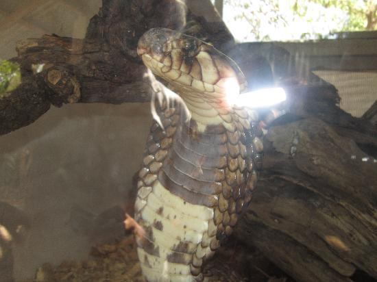 Bio-Ken Snake Farm: COBRA EGIZIANO