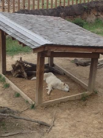 Memphis Zoo: Gray Wolf