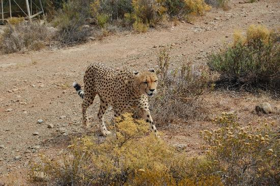 African Game Lodge: Cheetah