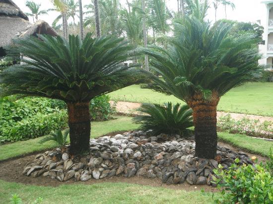VIK Hotel Arena Blanca: Lots of palms