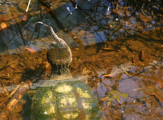 Sea Pines Forest Preserve: Large Turtle Eating a Snake