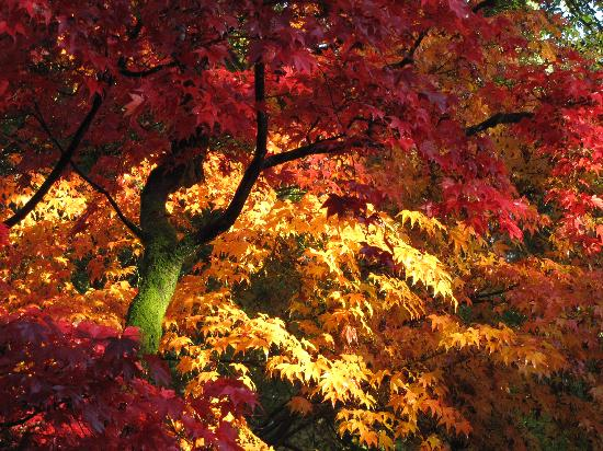 Tetbury, UK : Autumn colour at Westonbirt
