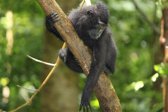 Manado Safari Tours - Private Day Tours : Black Crested Macaque @ Tangkoko