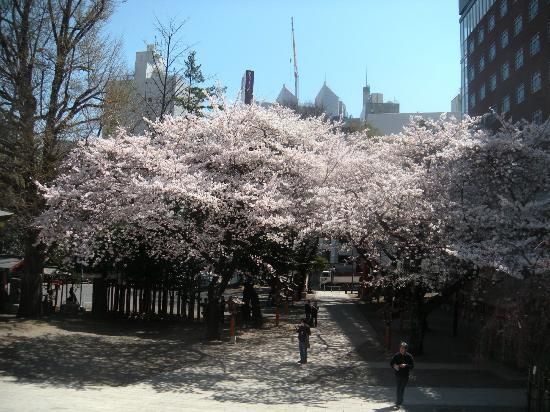 Shinjuku Chuo Park : 中央公園の桜