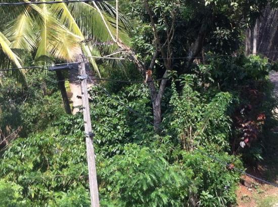 Nature Walk Resort: monkey outside our window