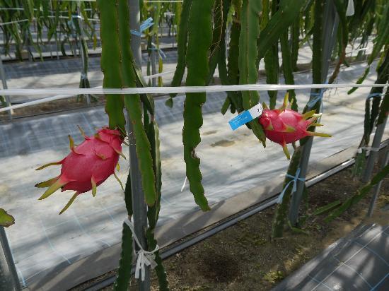 Tateyama Family Park : ドラゴンフルーツ