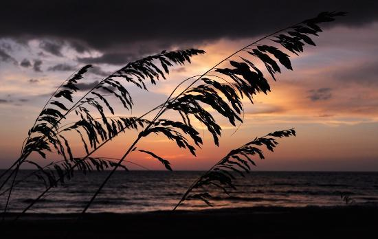Barefoot Beach Preserve : Reed silhouette