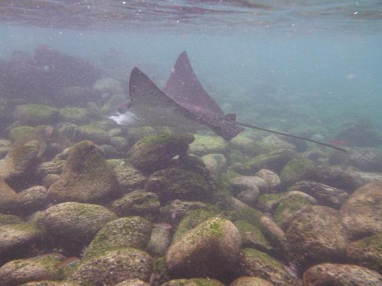 Casa Iguana Mar y Sol: La Loberia - Swim with eagle ray