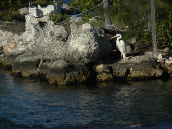Tarpon Flats Inn: Egret