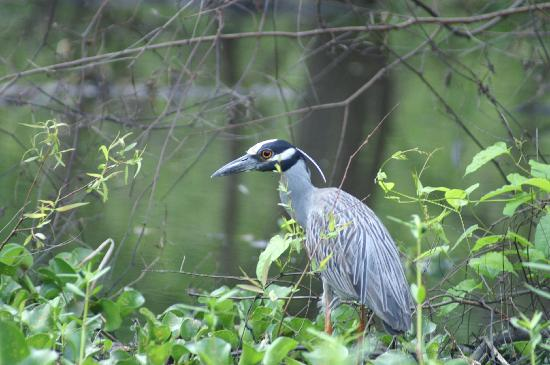 Лафайет, Луизиана: Yellow-crowned Night Heron