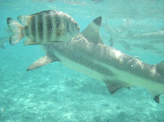 Bora Bora Pearl Beach Resort & Spa: swimming with sharks