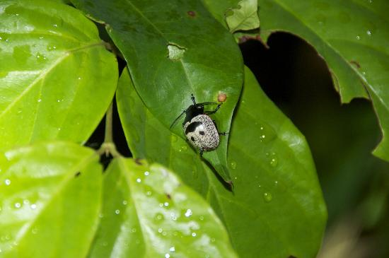 Drake Bay, Costa Rica: A smile beetle