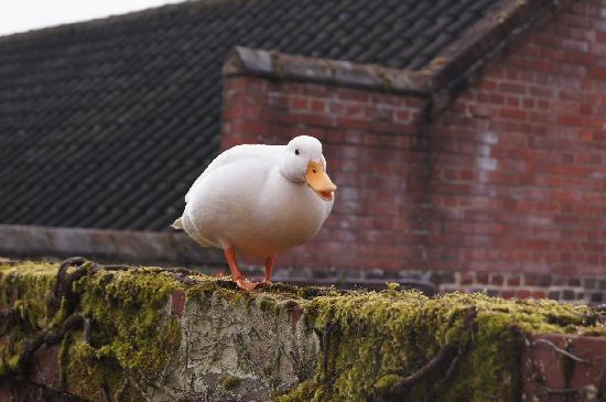 Thorpe St Andrew, UK: Ducky