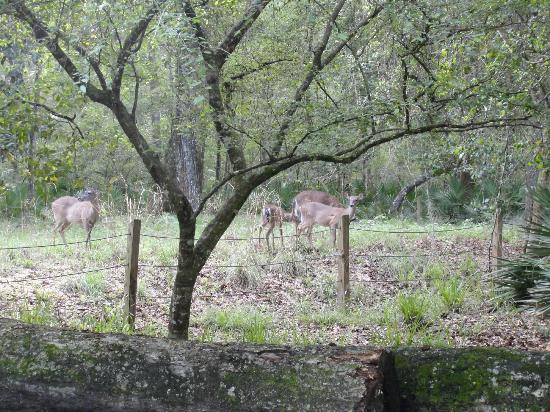 Manatee Springs State Park: Deer by our campsite