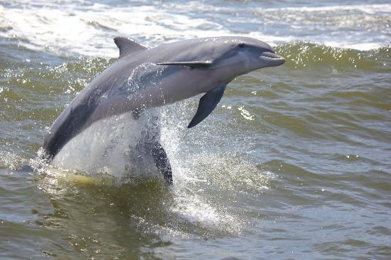 Orange Beach, AL: One of 100 photos I took of the many dolphins we saw.