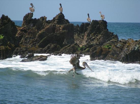 Regalo del Mar Vacation Inn: Amazing pelicans
