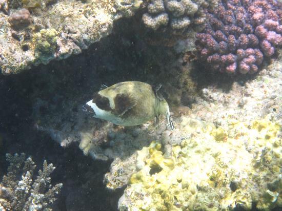 Mercure Hurghada Hotel: Kugelfisch