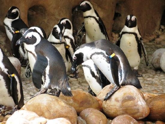 Durban, Güney Afrika: Penguin show