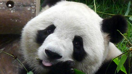 Macau Giant Panda Pavilion - Panda(c)