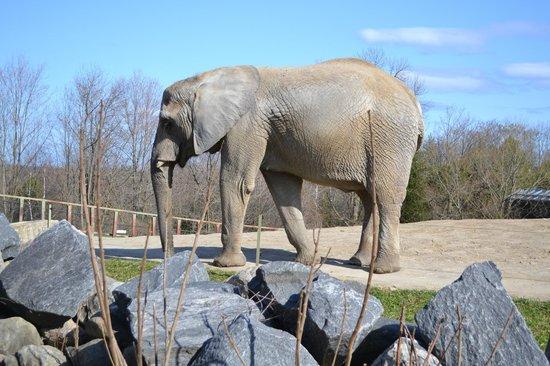 Toronto Zoo: Mr. Elephant