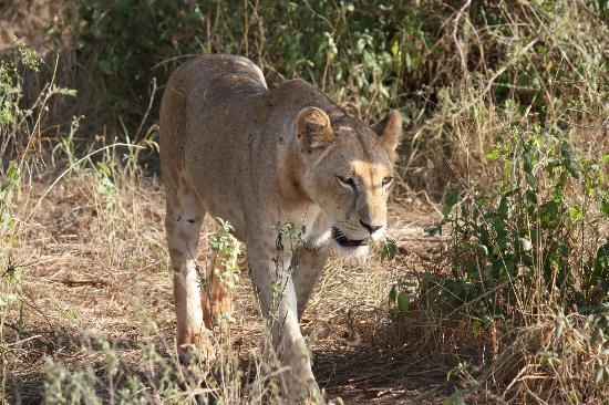 Six Continents Day Tours and Safaris: lion