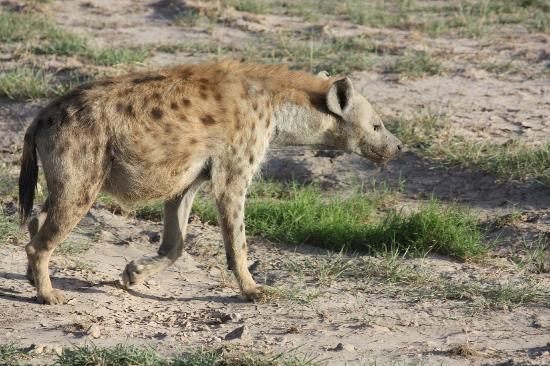 Six Continents Day Tours and Safaris: hyena