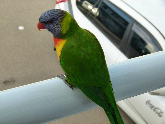 Sea Spray Motel Merimbula: parrot on balcony