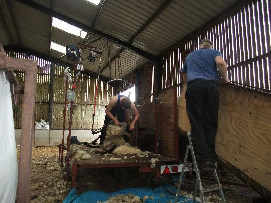 Tosson Tower Farm: Shearing time June 2011