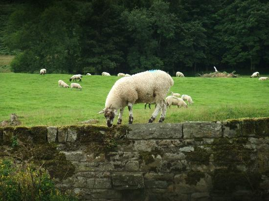 Tosson Tower Farm: Wall walking lamb