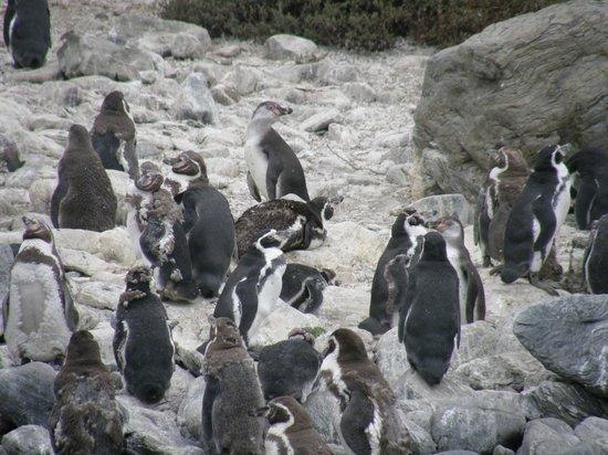 La Serena, Şili: Humboldtpinguine