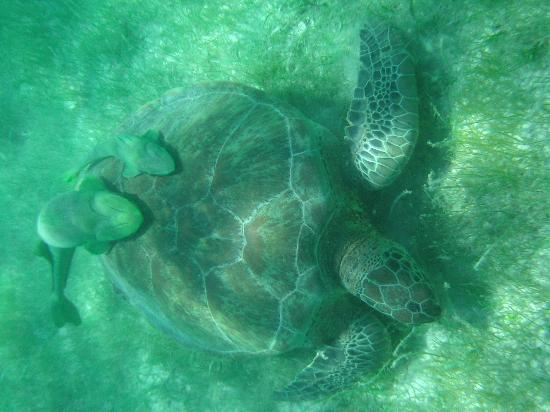 Plage d'Akumal: Sea Turtle with ramora fish
