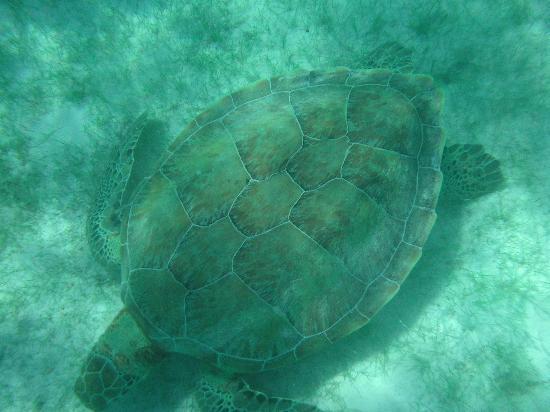 Plage d'Akumal: Sea Turtle