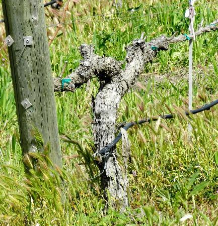 Tablas Creek Vineyard: old vines