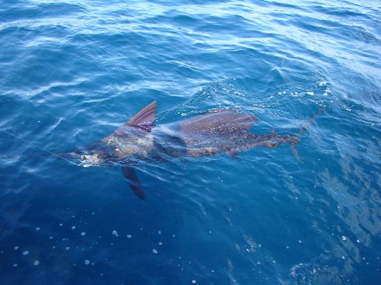 Hooked On Panama Fishing Lodge: sailfish