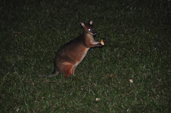 ‪تشامبرز وايلد لايف رينفوريست لودجيز: Red legged pademelon‬