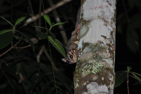 Chambers Wildlife Rainforest Lodges: Sugar glider viewing platform - the highlight of our stay