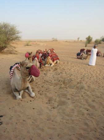 Al Maha, A Luxury Collection Desert Resort & Spa: Kamelreiten
