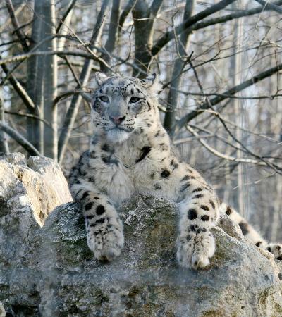 Le Parc des Felins : panthère des neiges