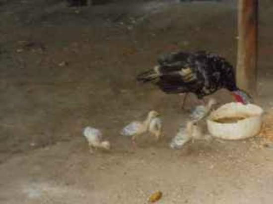 The Farm Inn: Mama Turkeys and Chicks - One of the Many Animals on the Farm