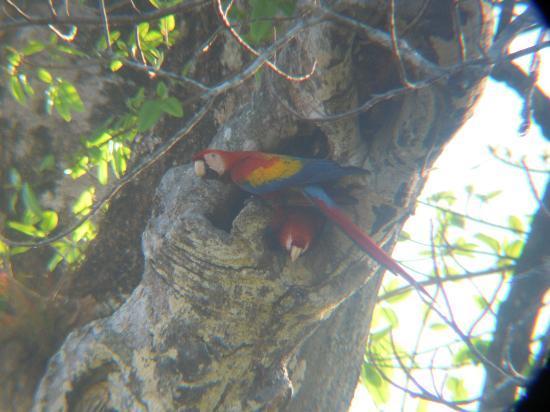 El Remanso Lodge: Nestin Scarlett macaws