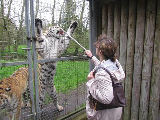 Banham Zoo : my wife Rochelle feeding tigers