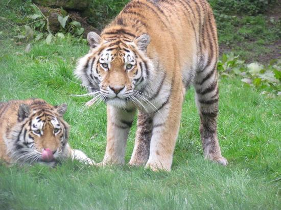 Banham, UK: tigers on there way over for food