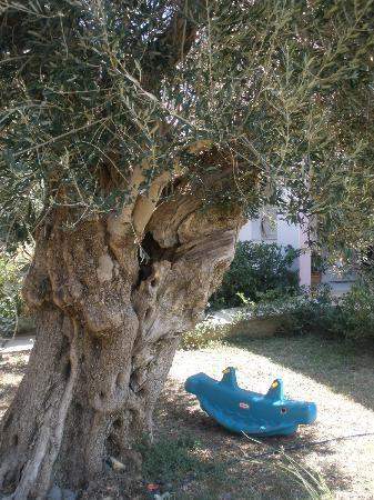 Livadi Apartments: olive tree