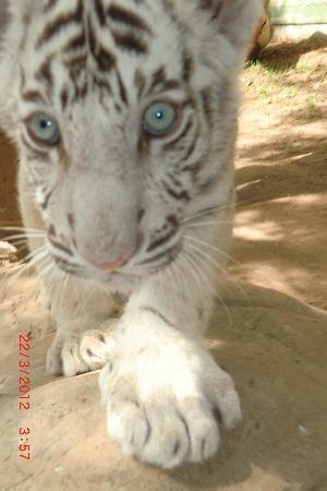 Oudtshoorn, Sydafrika: white tiger cub