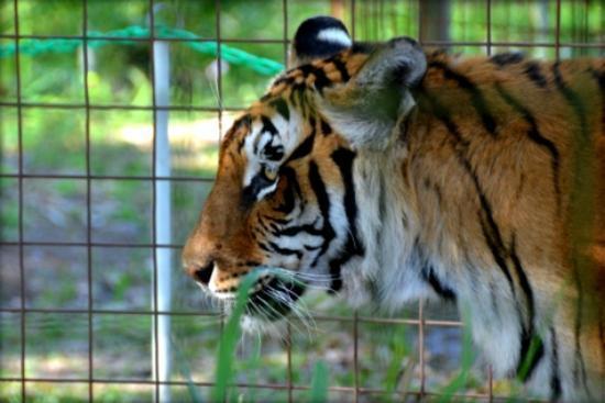 Big Cat Zoo Behaviours